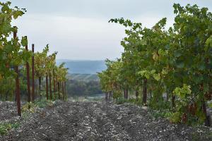 Сбор урожая в Абрау-Дюрсо ©Фото пресс-службы «Абрау-Дюрсо»
