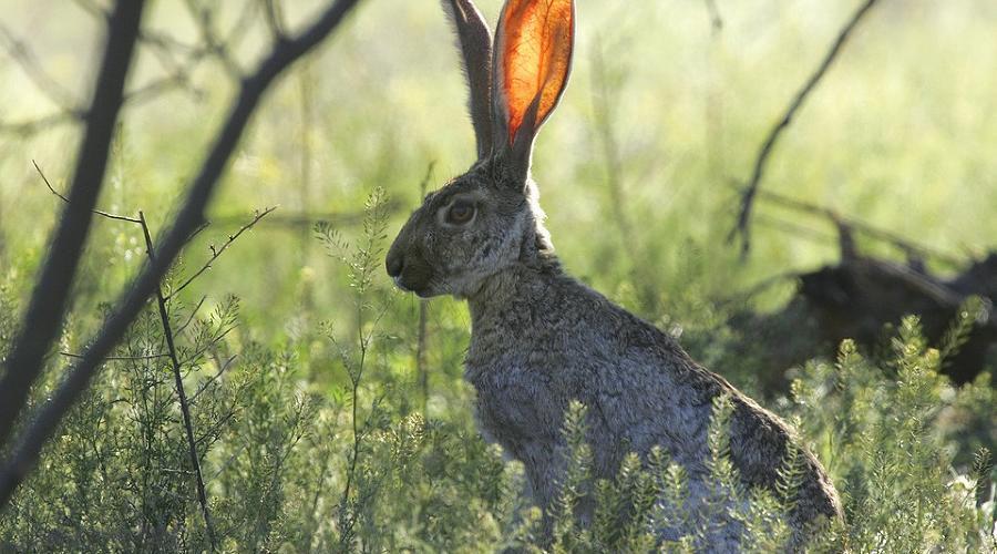 Охота на зайца (пушного зверя)