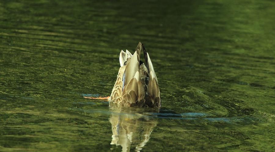 Водоплавающая дичь